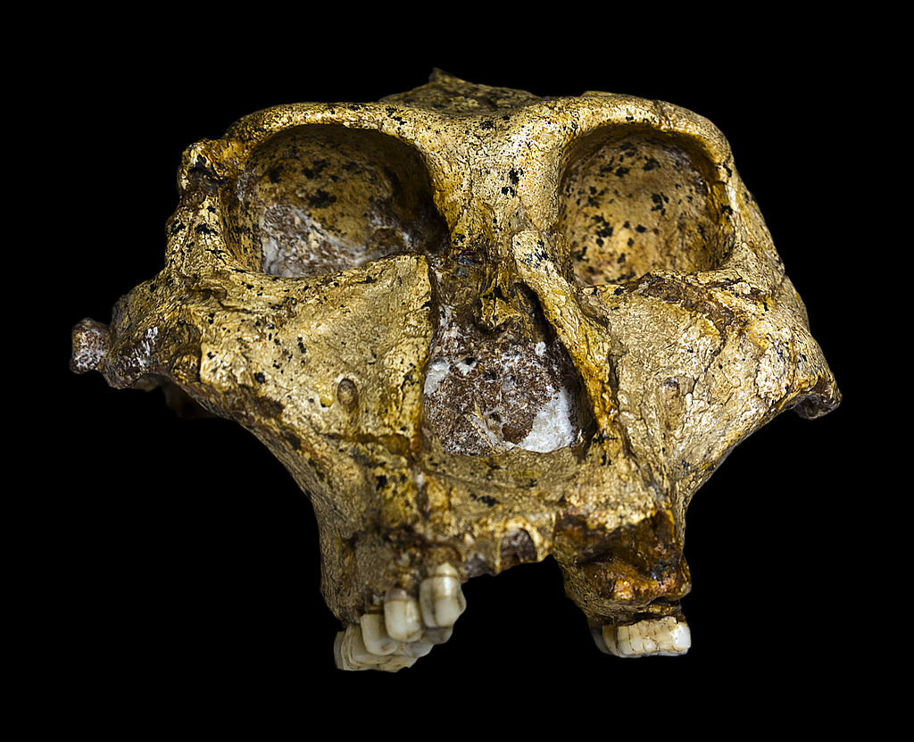 The original complete skull (without mandible) of a 1,8 million years old Paranthropus robustus (SK-48 Swartkrans (26°00'S 27°45'E), Gauteng,), discovered in South Africa . Collection of the Transvaal Museum, Northern Flagship Institute, Pretoria South Africa.