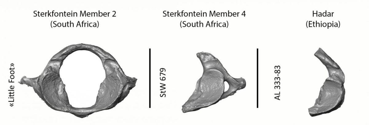 Comparison of the nearly intact first cervical vertebra of 'Little Foot' and two other Australopithecus from Sterkfontein in South Africa and from Hadar in Ethiopia showing how complete 'Little Foot' is as compared to the rest of the fossil record. Credit: Amélie Beaudet/Wits University