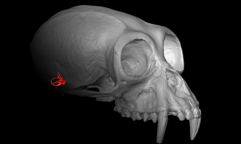A virtual 3D model of a gibbon skull with part of the inner ear highlighted in red. Credit : Alessandro Urciuoli (CC BY 4.0).