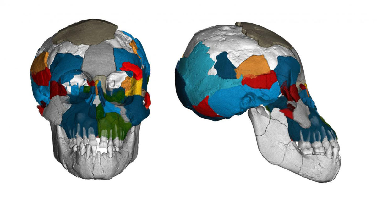 Brain imprints in fossil skulls of the species Australopithecus afarensis (famous for