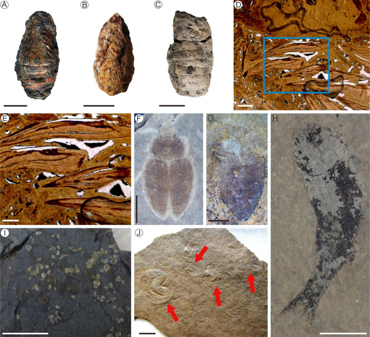 A-C: fish coprolites; D and E: sliced photomicrographs of fish coprolite; F and G: beetles; H: fish; I: ostracoda; J: tadpole shrimp. Credit: NIGPAS