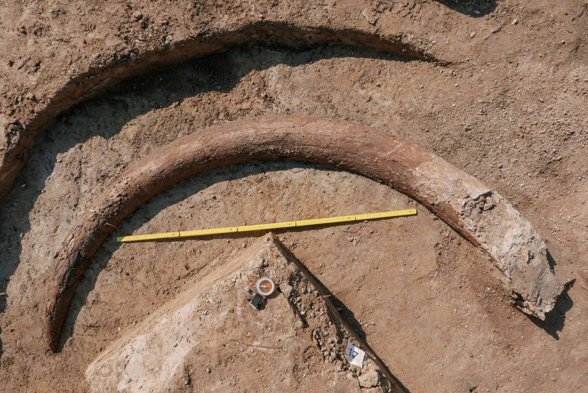 Measuring around 8.2 feet (2.45 metres) in length from tusk to tip tooth, the size suggests that the mammoth was an adult bull. Image Credit : ArcTron