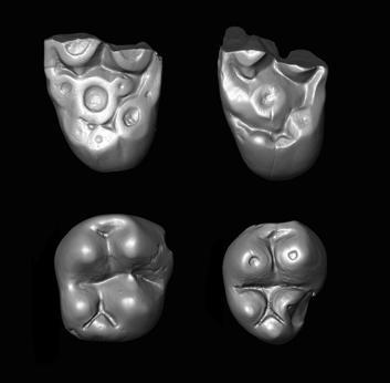 Tiny molar teeth of the parapithecid monkey Ucayalipithecus from the Oligocene of Perú Credit: Erik Seiffert