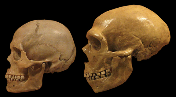 Comparison of Modern Human and Neanderthal skulls from the Cleveland Museum of Natural History. Credit: DrMikeBaxter/ Wikipedia
