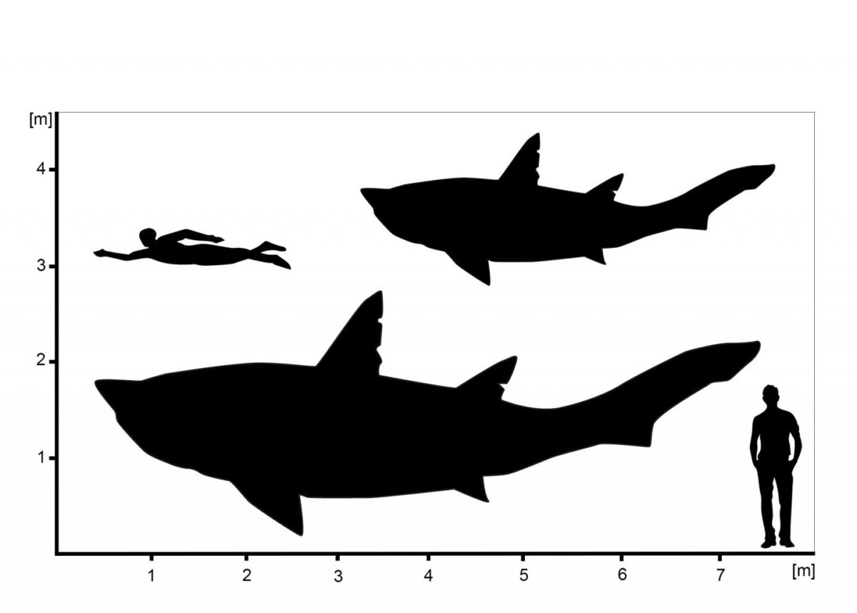 Hypothetical outlines of Ptychodus showing the minimum and maximum size estimations for the sub-adult specimen from Spain. Credit: © Patrick L. Jambura