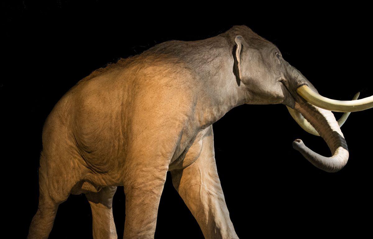 Mammuthus columbi. Credit: Tim Evanson