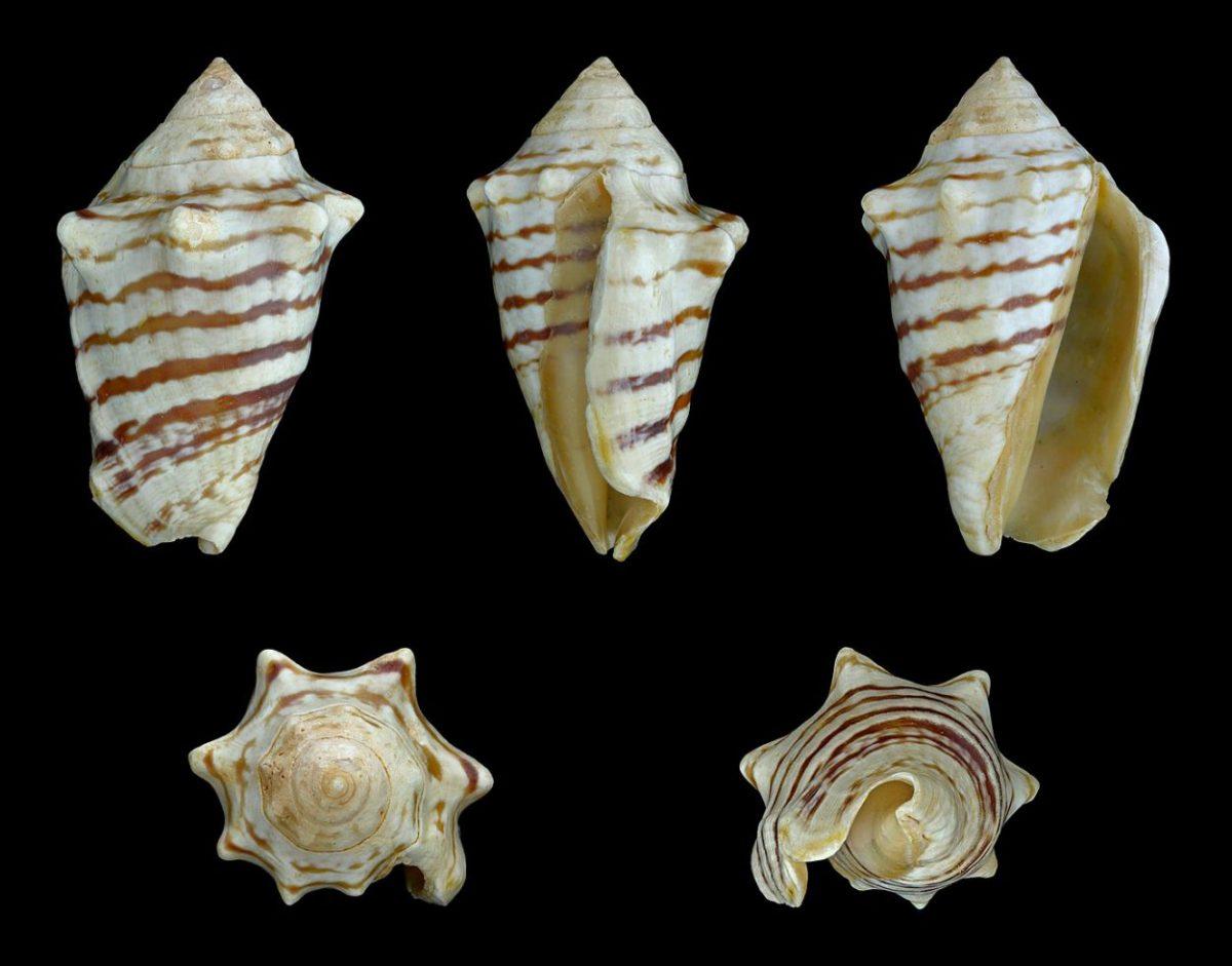 Conomurex fasciatus. Image credit : Llez