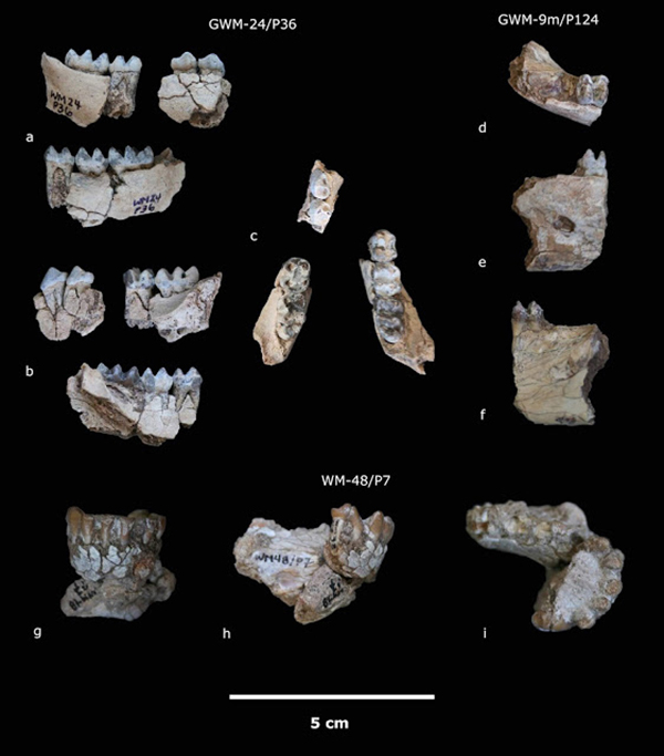 Mandibles of Kuseracolobus aramisi from Gona. Credit: CENIEH
