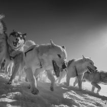 Sledge dogs are closely related to 9,500-year-old 'ancient dog'
