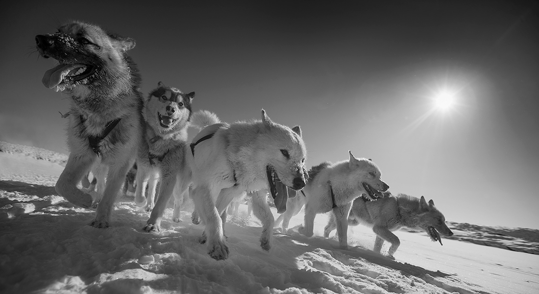 Light has been shed on the origin of the sledge dog. Photo: Carsten Egevang / Qimmeq