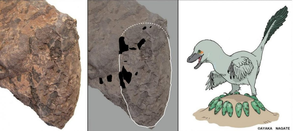 The fossilized egg shells of these small dinosaurs can shed light on this lost ecological diversity. Image Credit : University of Tsukuba and Museum of Nature and Human Activities