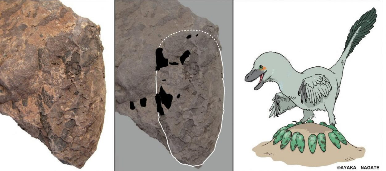 Nest Of Exceptionally Small Non Avian Theropod Egg Fossils