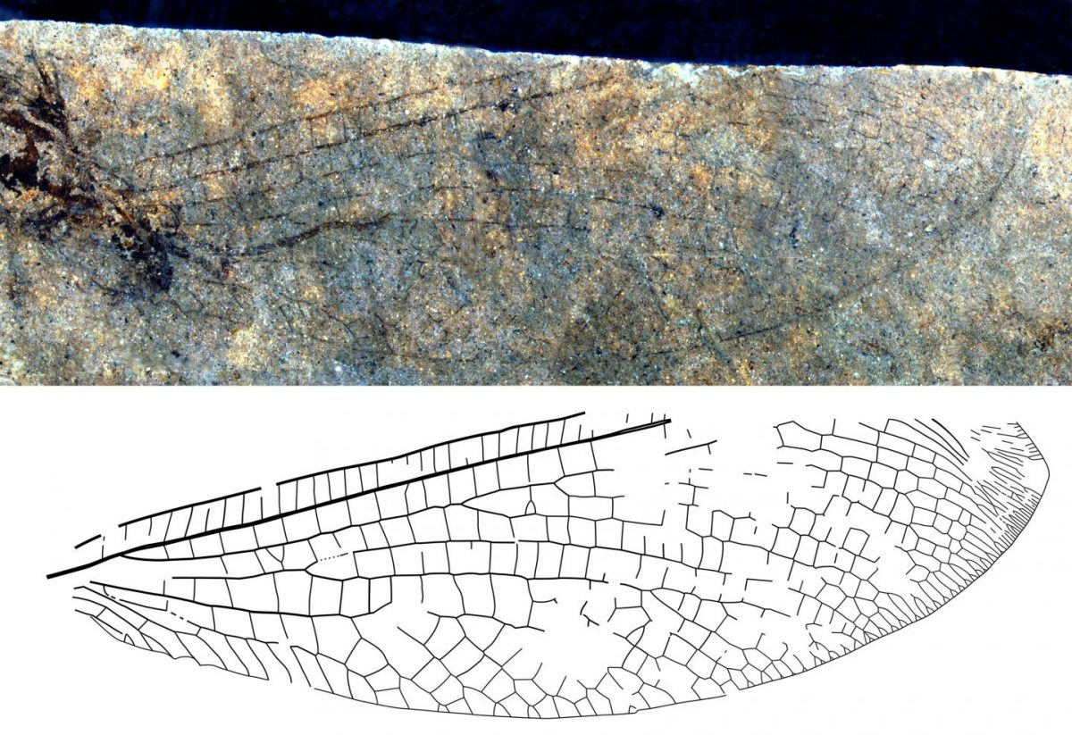 The new fossil lacewing species from British Columbia, Canada, with an almost complete wing. Credit: Copyright: The Canadian Entomologist. Used by permission.