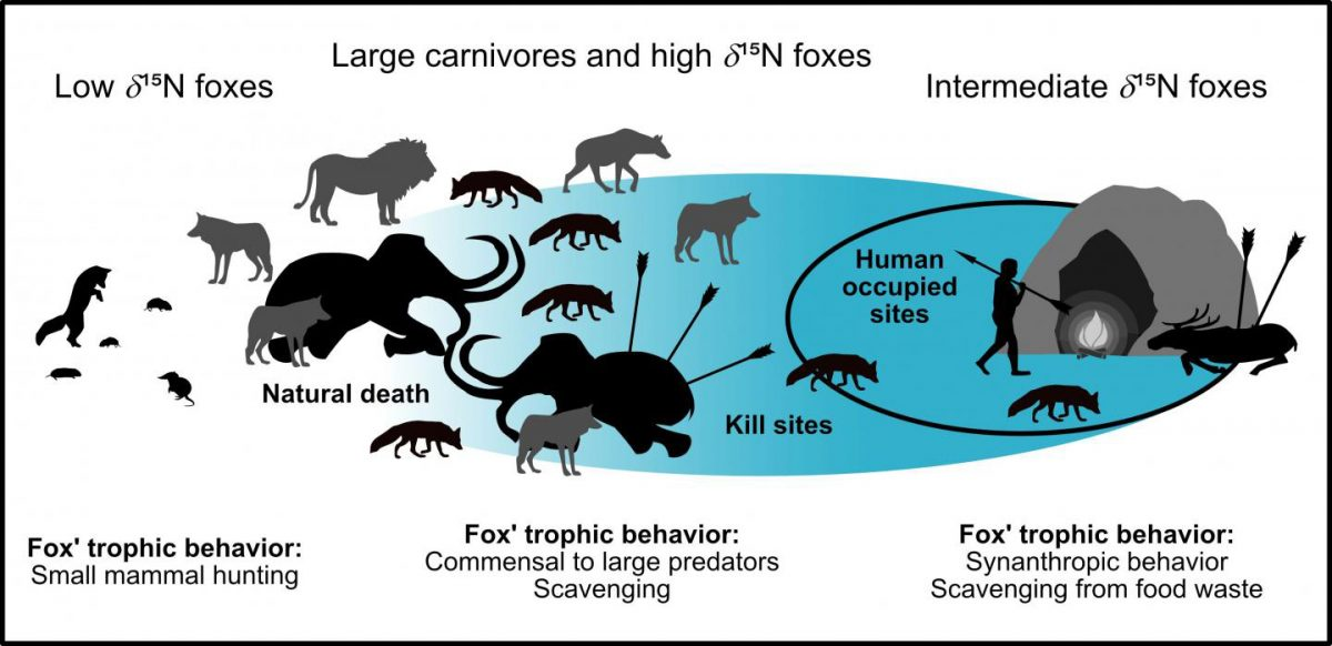 Summary figure for the commensal fox hypothesis. The blue area marks the impact of humans on dietary resources. For low δ15N foxes, humans had no influence, while for intermediate δ15N foxes they had a very strong influence (restricted diet). High δ15N foxes may be influenced (e.g. by scavenging at kill sites) or may be of natural origin (e.g. by scavenging from megafauna that died naturally). Credit: Baumann et al, 2020 (PLOS ONE, CC BY 4.0)