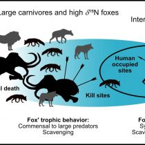 Foxes have been eating humans' leftovers for 42,000 years