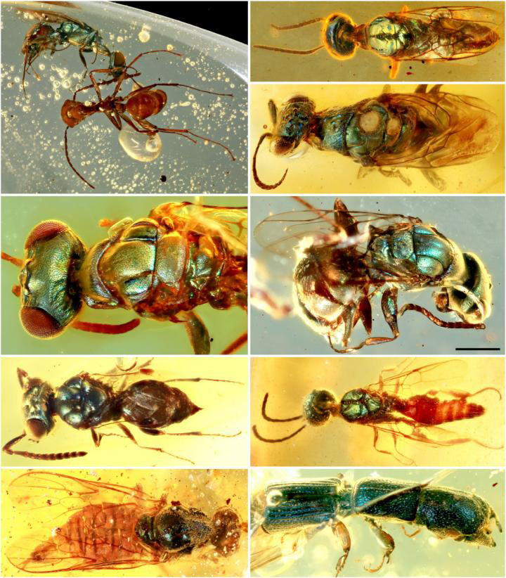 Amber fossils unlock true color of 99-million-year-old insects