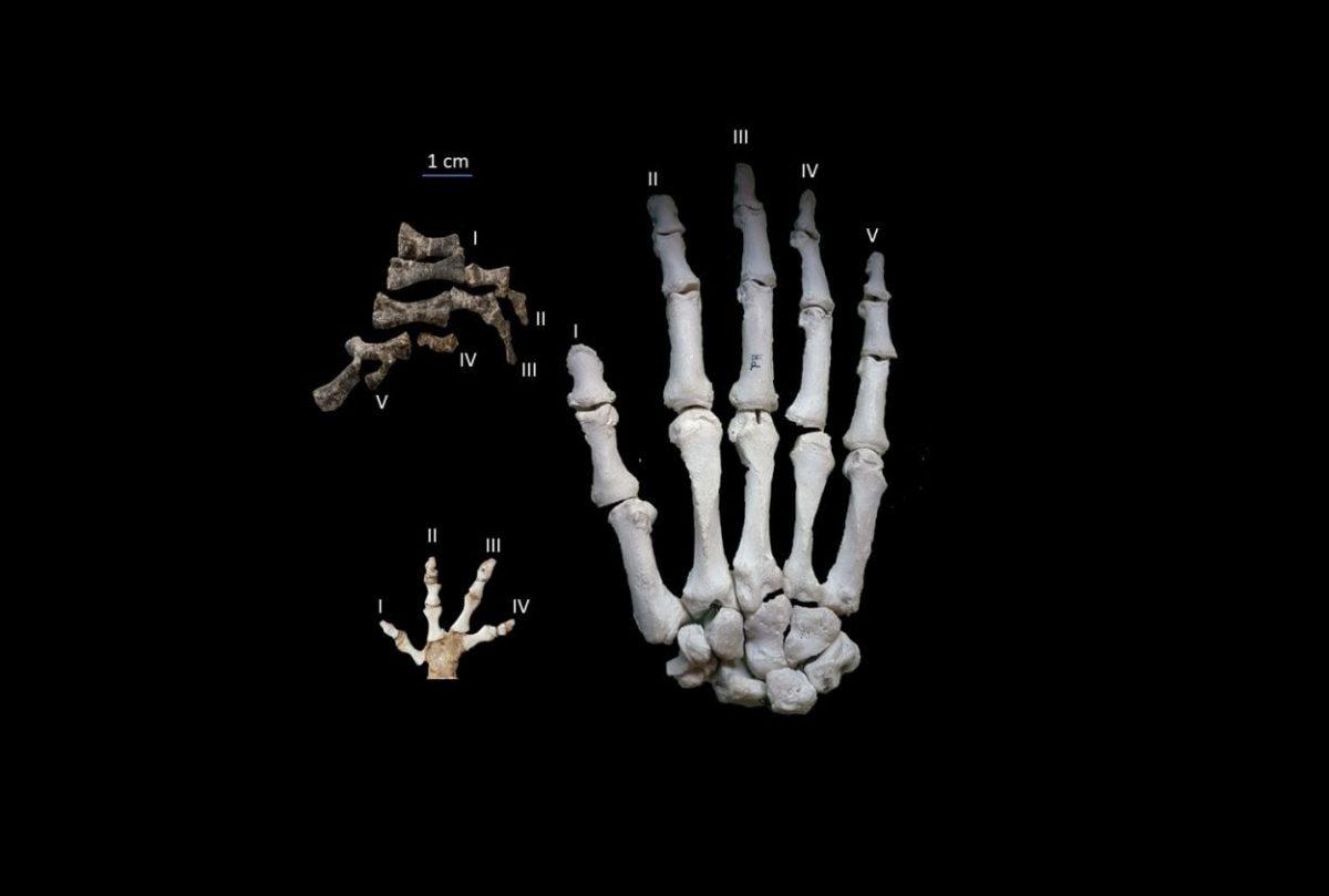 Comparison between the manus of Metoposaurus (top left), the largest living modern amphibian Andrias japonicus (bottom left) and a human hand (right). Image Credit : Goldfuss specimens – DKM/ Metoposaurus – Georg Oleschinski, University of Bonn