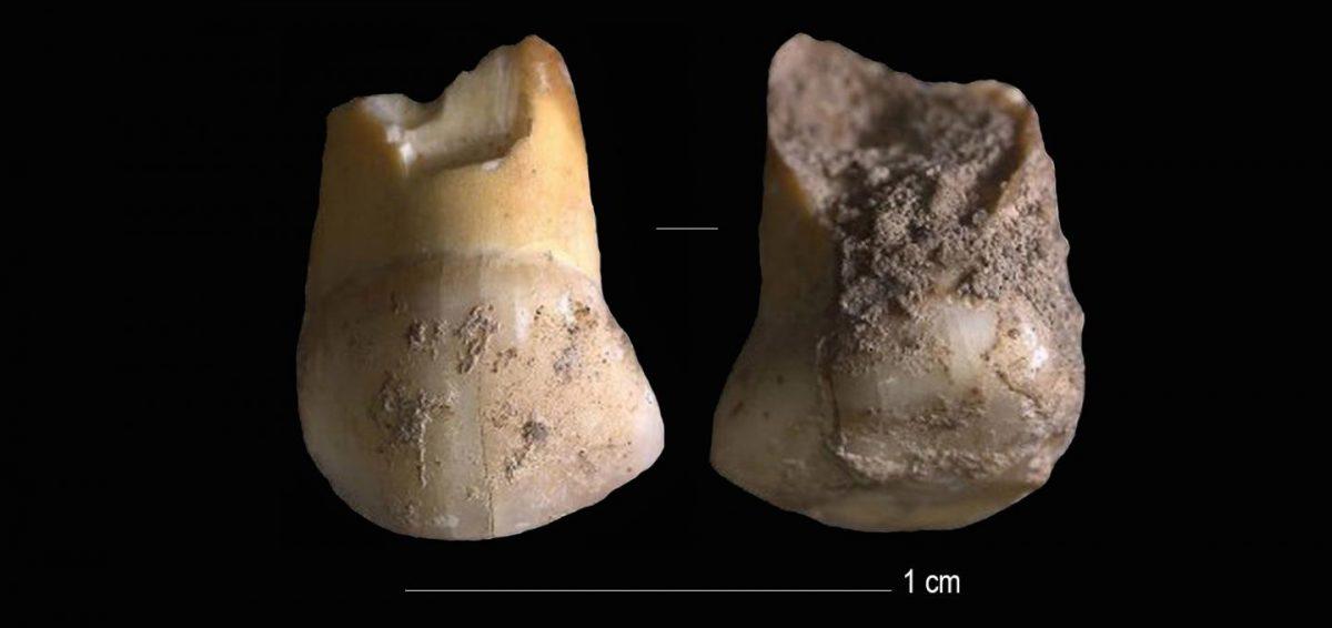 Neanderthal milk-tooth. Image Credit : Journal of Human Evolution