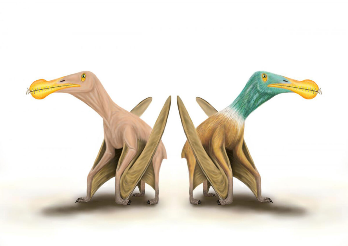 What did pterosaurs look like? Some researchers think they had a relatively smooth skin without any covering, similar in appearance to the skin on the palms of your hands. Others have argued that they were covered with small feather-like structures and looked a little bit like four-legged birds. Credit: Megan Jacobs, University of Portsmouth.