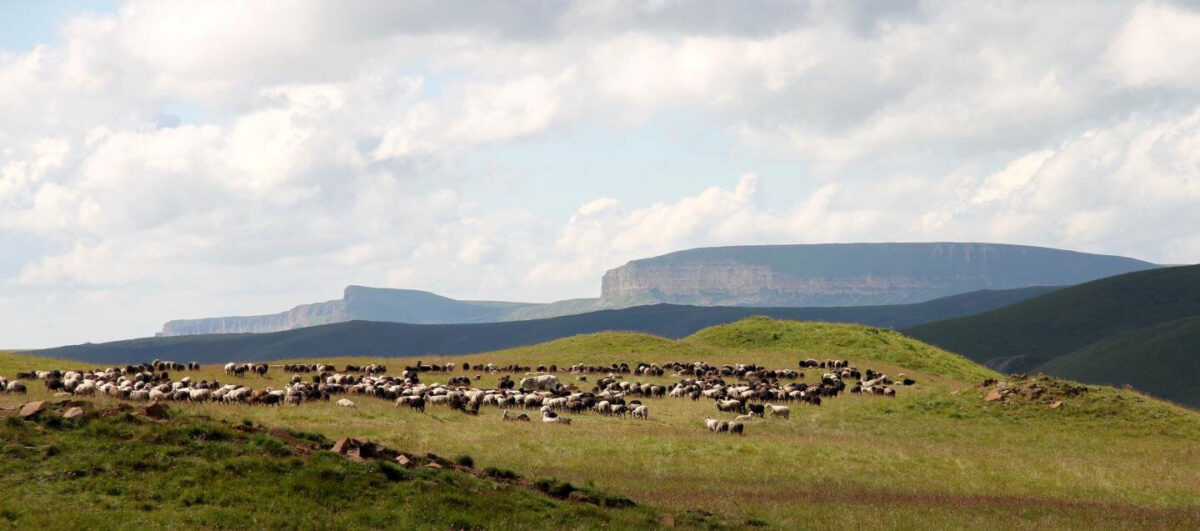 Grazing animals on Caucasus mountain pastures. Credit: Sabine Reinhold