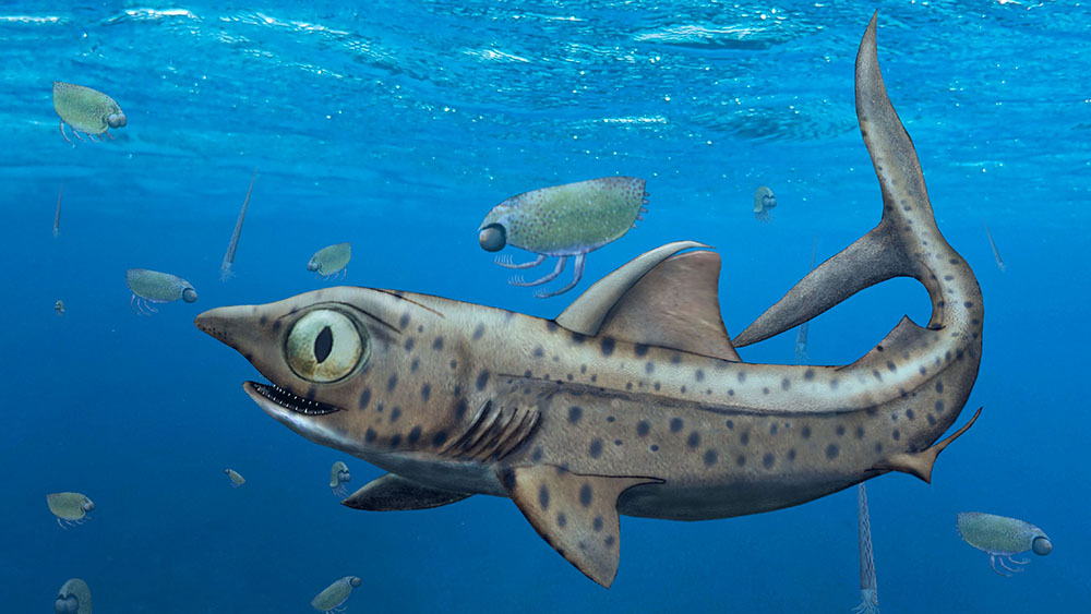 With mouths closed, the older, smaller teeth of the ancestors of today's sharks stood upright on the jaw, while the younger and larger teeth pointed towards the tongue and were thus invisible when the mouth was closed. (Illustration: Christian Klug, UZH)