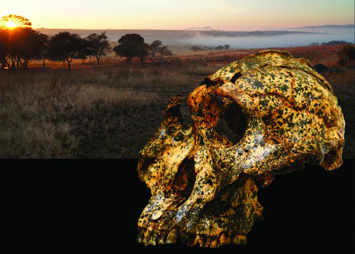 The discovery of a remarkably well-preserved fossil from the extinct human species Paranthropus robustus suggests rapid evolution during a turbulent period of local climate change, resulting in anatomical changes that previously were attributed to sex. Credit : Image courtesy Jesse Martin and David Strait