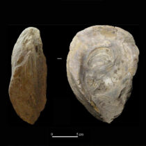 First exhaustive review of fossils from Iberian archaeological sites