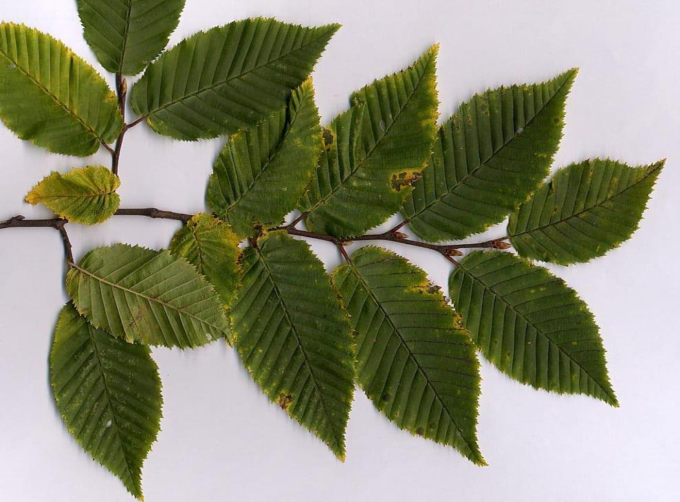 Carpinus betulus foliage – Image Credit : MPF – CC BY-SA 3.0