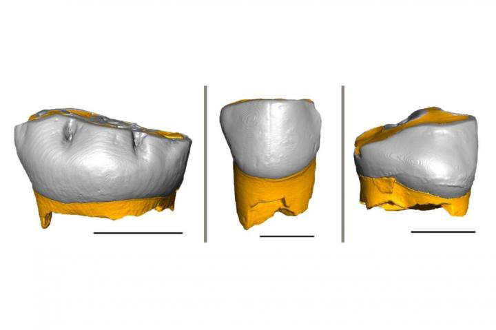Thanks to the combination of geochemical and histological analyses of these three Neanderthal milk teeth, researchers were able to determine their pace of growth and the weaning onset time. Credit : Federico Lugli