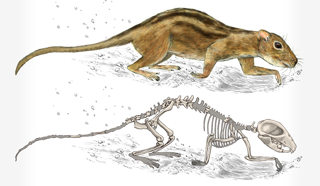 Filikomys primaevus' powerful shoulders and elbows suggest it was a burrowing mammal. Art by Misaki Ouchida.