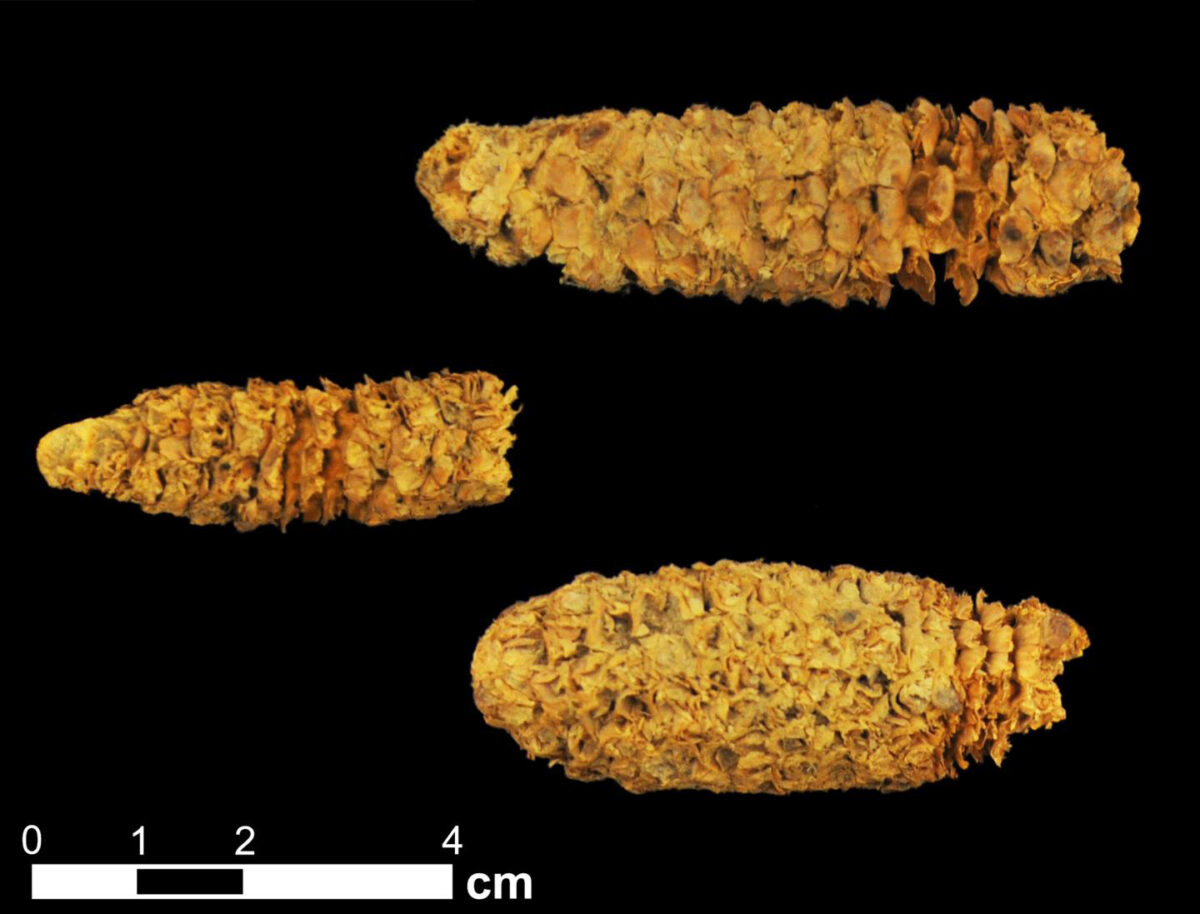 Three roughly 2,000-year-old corn cobs from the El Gigante rock shelter site in Honduras. Credit : Thomas Harper