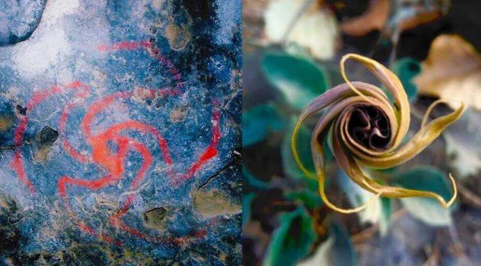 Left: Pinwheel painting within cave. Image credit: Rick Bury (photographer). Right: Unfurling flower of D. wrightii from plant near cave site. Image credit: Melissa Dabulamanzi (photographer).