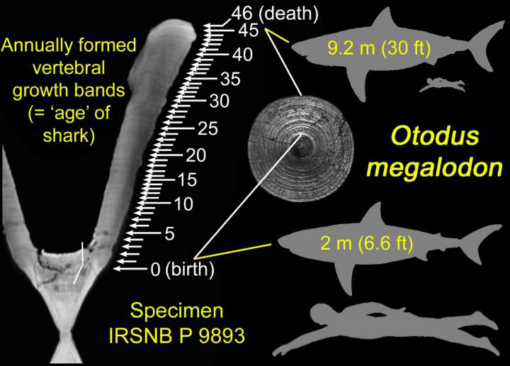 Identified annual growth bands in a vertebra of the extinct megatooth shark Otodus megalodon along with hypothetical silhouettes of the shark at birth and death, each compared with size of typical adult human. The vertebral specimen is housed in the Royal Belgian Institute of Natural Sciences in Brussels. Credit: DePaul University/Kenshu Shimada
