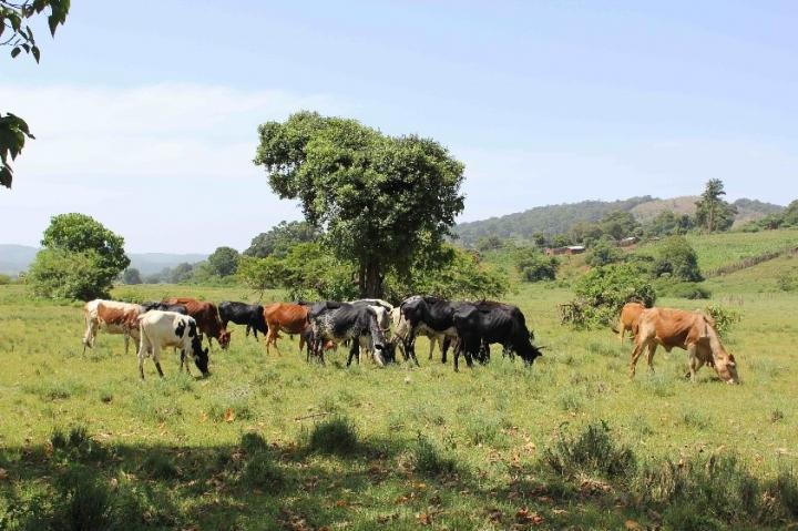 Cattle grazing in Entesekara in Kenya near the Tanzanian border. Credit : A. Janzen
