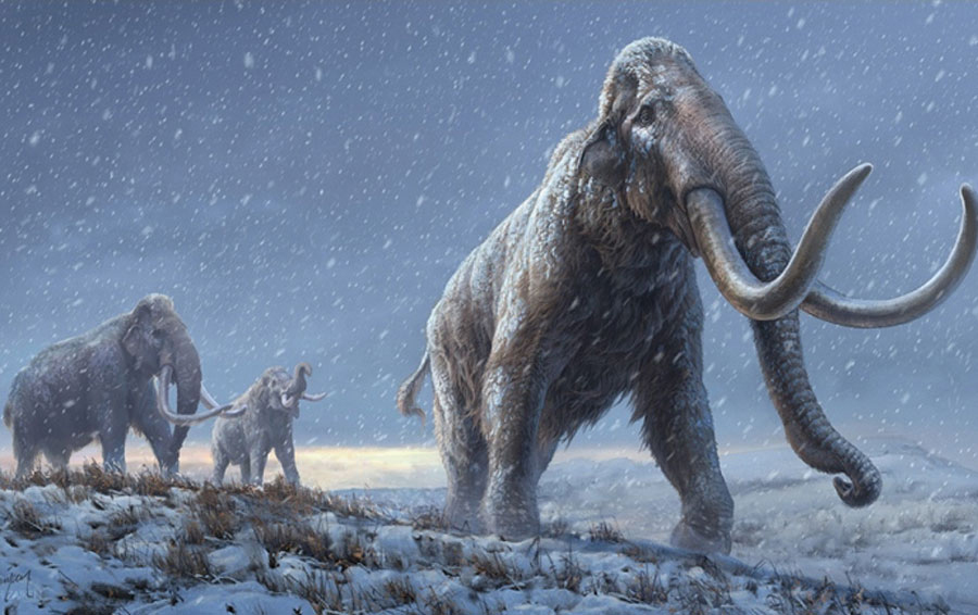 Researchers have now managed to analyse the genomes from three ancient mammoths, using DNA recovered from mammoth teeth that had been buried for 0.7-1.2 million years in the Siberian permafrost. Credit : Stockholm University