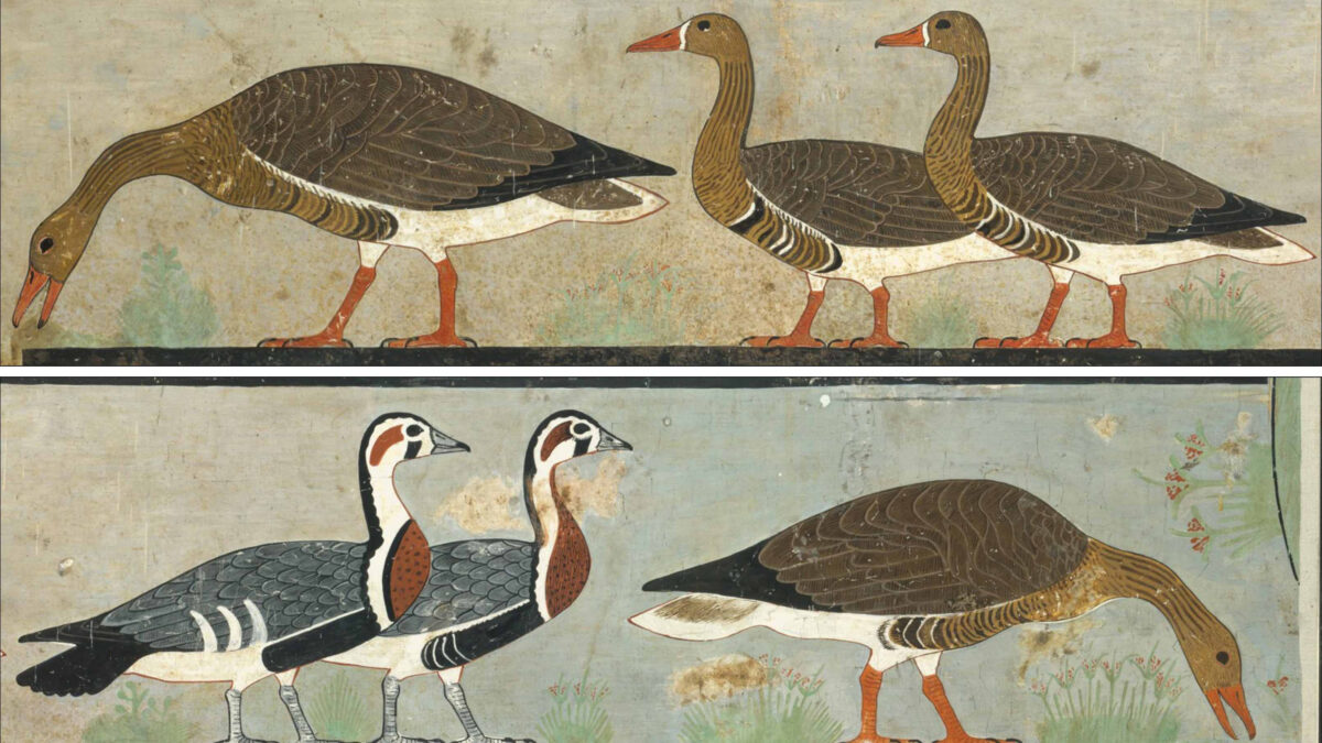 Extinct goose revealed by ancient art study