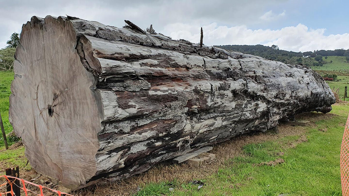 Ancient kauri tree log from Ngawha, New Zealand. Credit : Nelson Parker