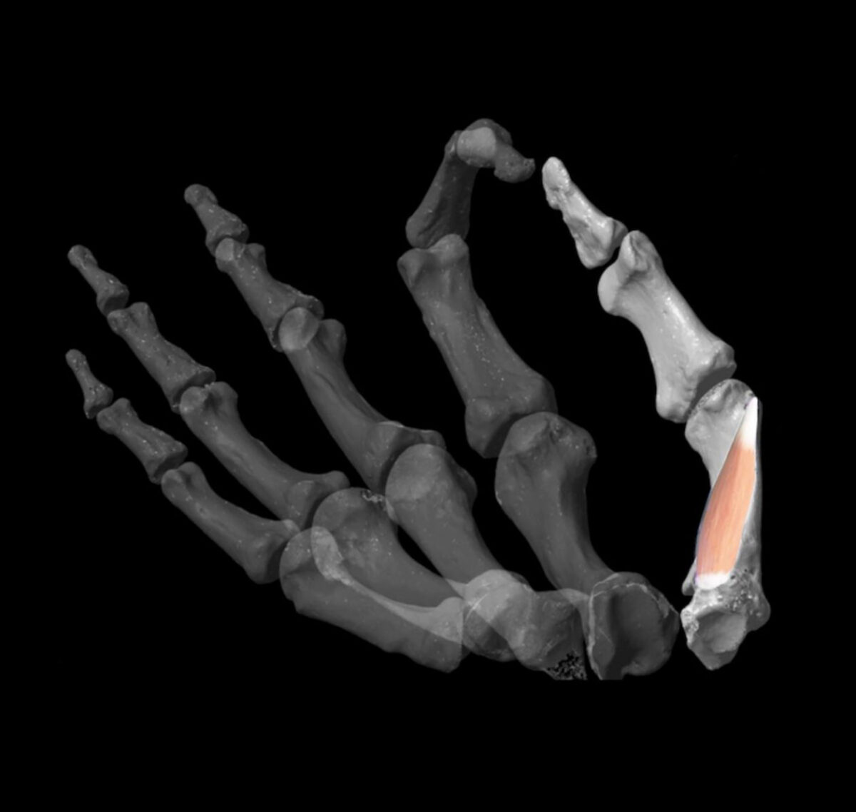Aspect of the virtual model developed by the researchers to assess thumb dexterity in the fossil record. Copyright: Image: Katerina Harvati, Alexandros Karakostis, Daniel Häufle