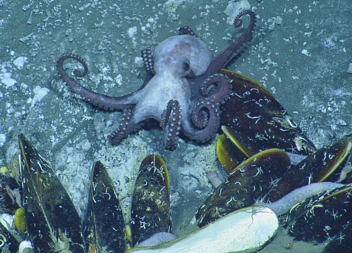 The octopus Muusoctopus johnsonianus at a modern cold seep off Grenada. Courtesy of Drs. Adiel Klompmaker and Neil Landman with permission of the Ocean Exploration Trust Inc.