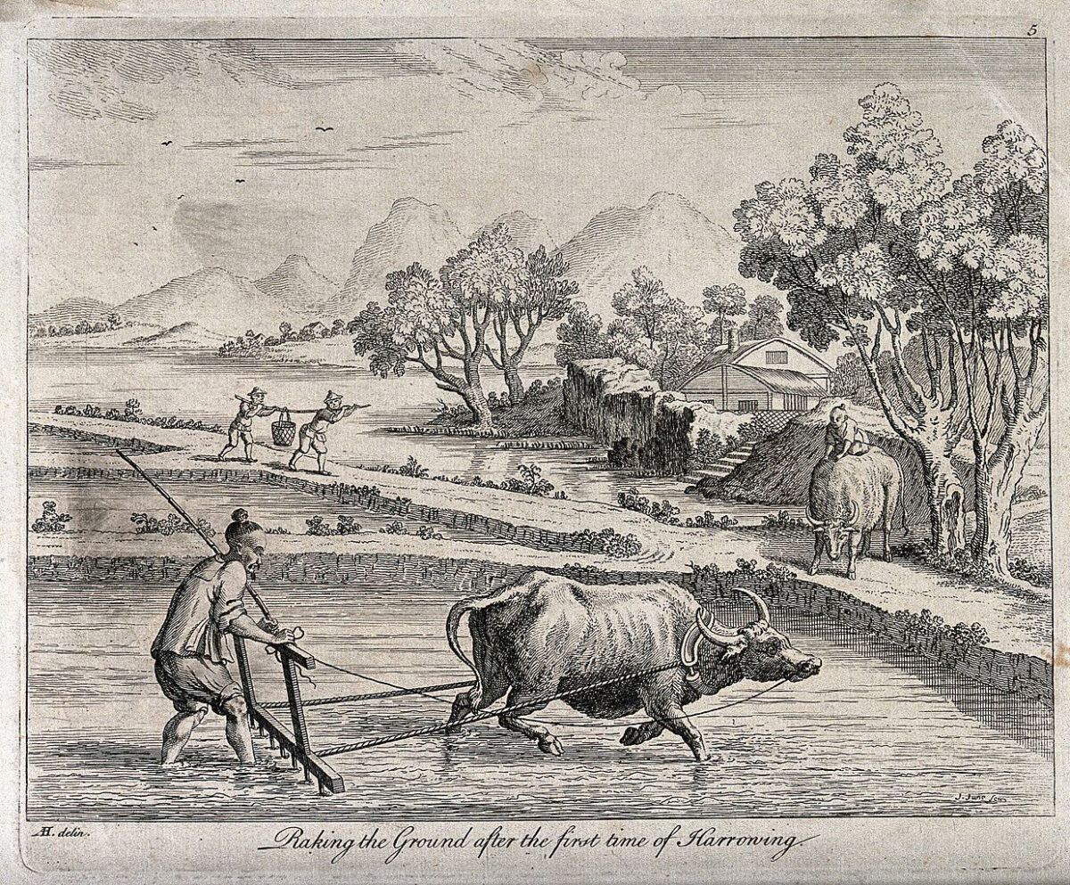 Agriculture: raking rice paddies in China with an ox-drawn plough. Engraving by J. June after Augustin Heckel. Credit : Wellcome Images. This file is licensed under the Creative Commons Attribution 4.0 International license.