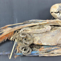 Mummified parrots point to trade in the ancient Atacama desert