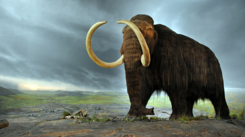 Replica of a woolly mammoth (Mammuthus primigenius) in the Royal BC Museum in Victoria, British Columbia, Canada. The display is from 1979 and the fur is muskox hair. (Image by Flying Puffin, Creative Commons Attribution-ShareAlike 2.0 Generic license – cropped from original)