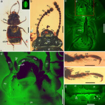 Scientists uncover the last meal of a Cretaceous pollinator