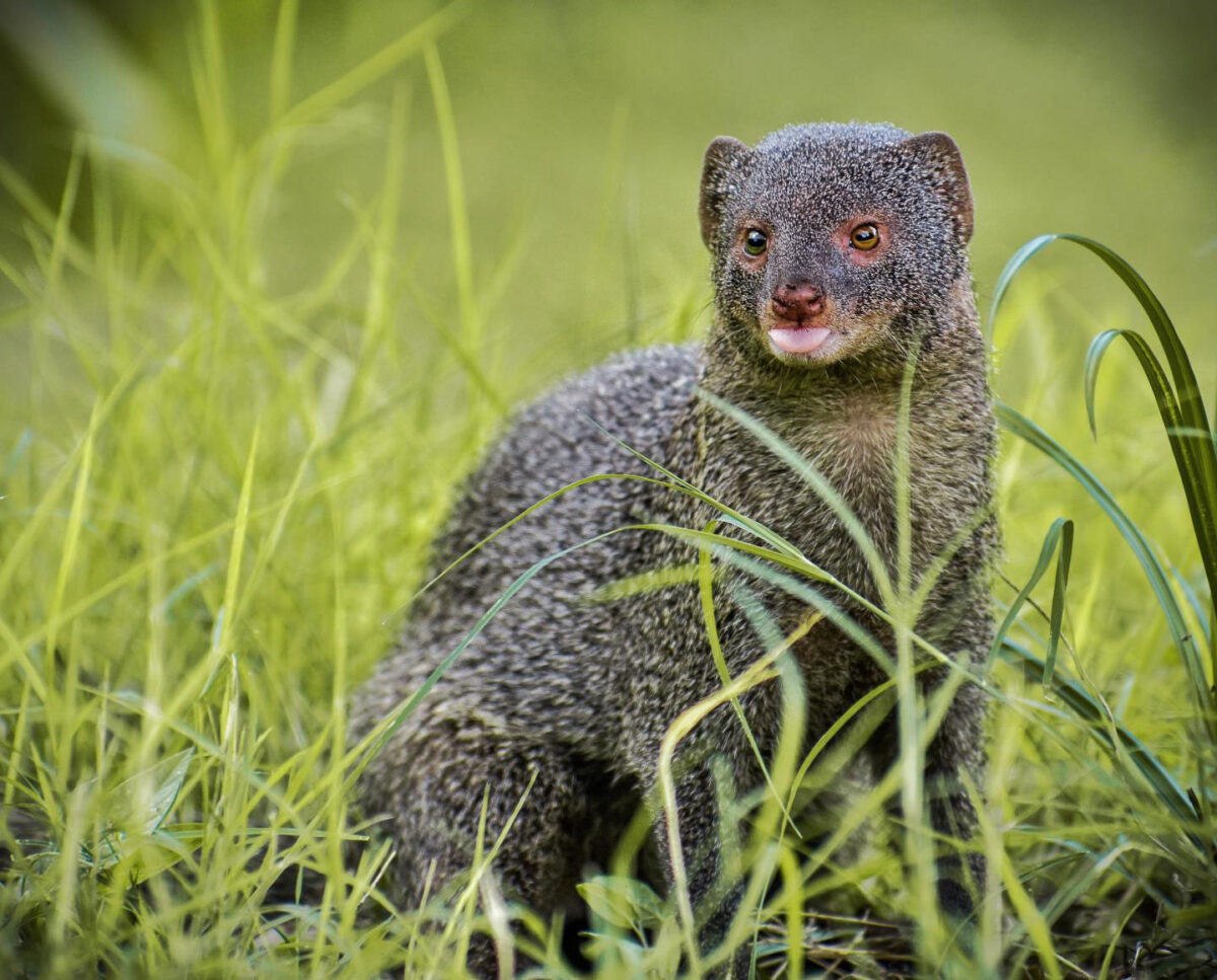 The mongoose was introduced by colonists to the islands of Guadeloupe in the 1880s as a method of controlling rats and snakes. It has had a detrimental effect on snake and lizard biodiversity. Credit : Photo by Omkar Vinchu from Pexels