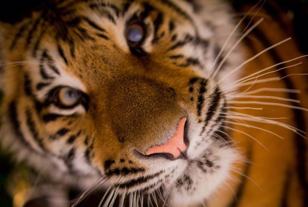 'Tiger' - one of the concepts vocalised by scientists.