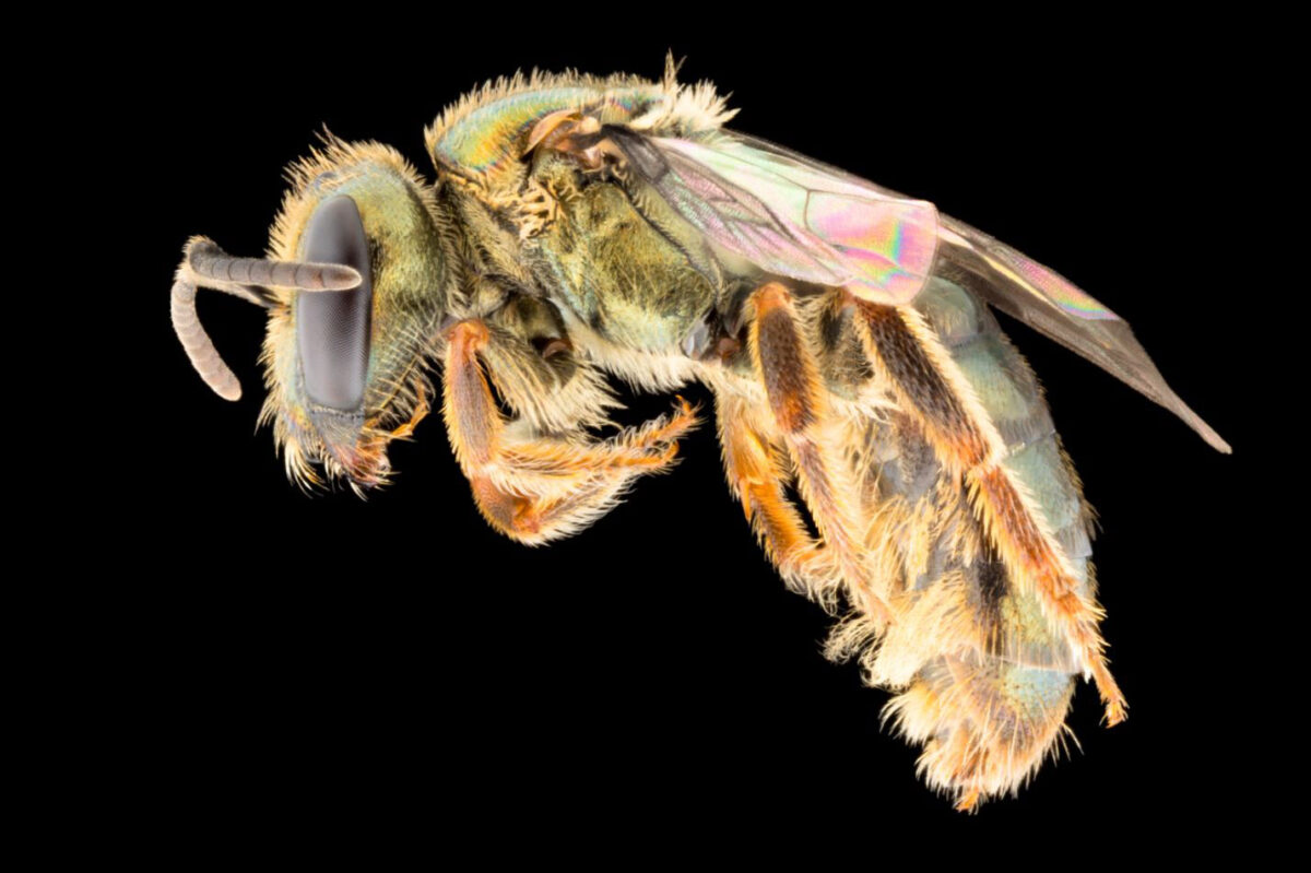 Endemic lowlands bee Homalictus fijiensis (female). H. fijiensis female 63p MPE 4x Courtesy James Dorey Photography