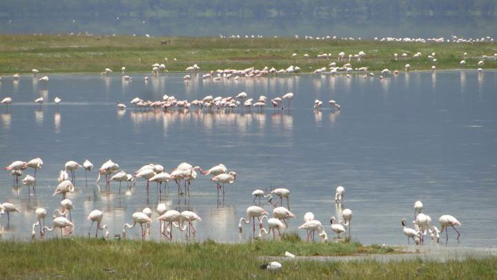 The alkaline Nakuru Lake in Kenya is rich in the cyanobacterium Spirulina platensis, the basic food of the Lesser Flamingo. However, due to increasing rainfall in the region in recent years, the bacterium and with it the flamingos are disappearing. Credit: Prof. Martin Trauth, University of Potsdam