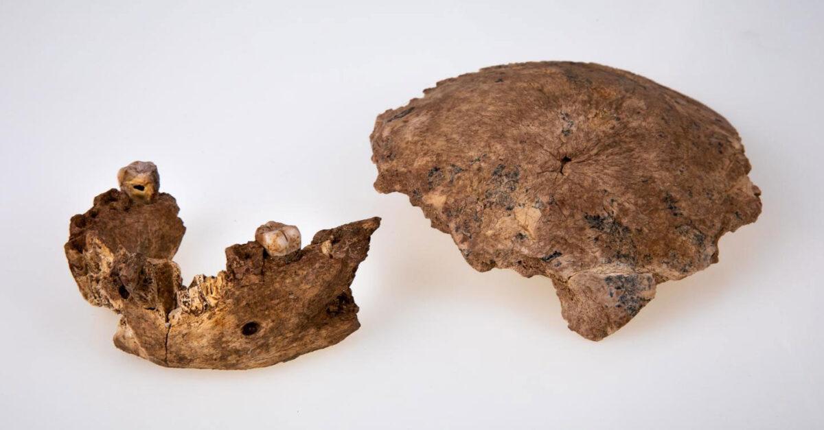 The Nesher Ramla human mandible (left) and parietal bone (right). Credit : Avi Levin and Ilan Theiler, Sackler Faculty of Medicine, Tel Aviv University