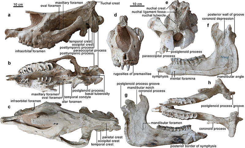 Holotype of Paraceratherium linxiaense sp. nov. Skull and mandible share the scale bar, but both the anterior and nuchal views have an independent scale bar. (Image by IVPP)