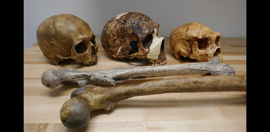 Skulls and femurs. Credit : Manuel Will